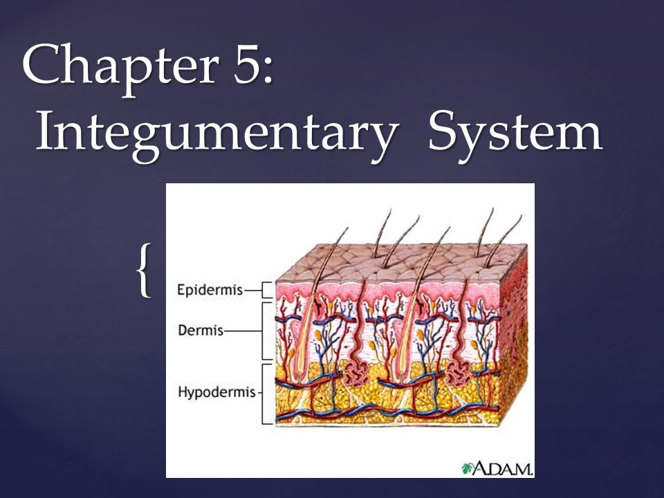 { Chapter 5: Integumentary System