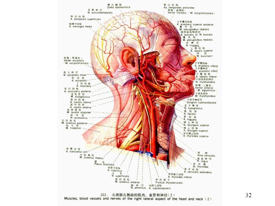 Wunderbar N. Laryngeus Superior Anatomie Bilder - Menschliche ...
