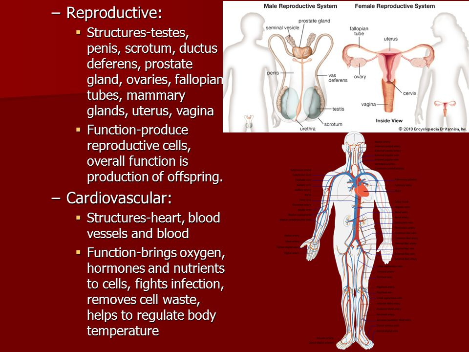 –Reproductive:  Structures-testes, penis, scrotum, ductus deferens, prostate gland, ovaries, fallopian tubes, mammary glands, uterus, vagina  Function-produce reproductive cells, overall function is production of offspring.