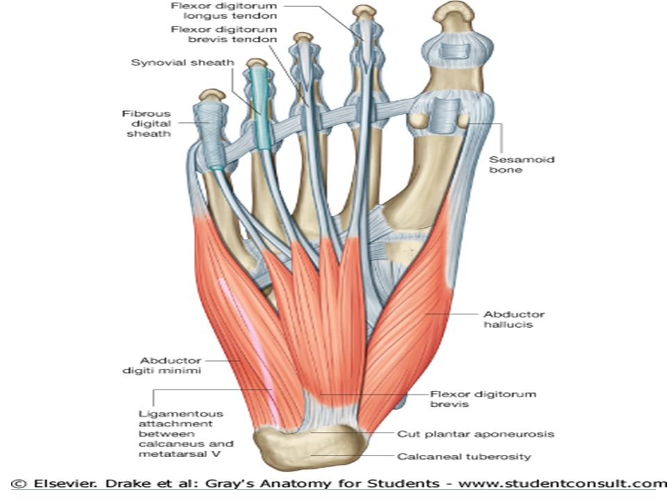 Plantar aponeurosis anatomy 1715461 - follow4more.info