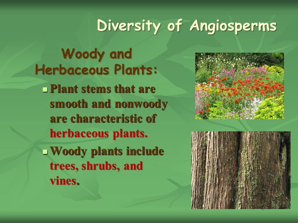 Diversity of Angiosperms Diversity of Angiosperms Woody and Herbaceous Plants: Plant stems that are smooth and nonwoody are characteristic of herbaceous plants.
