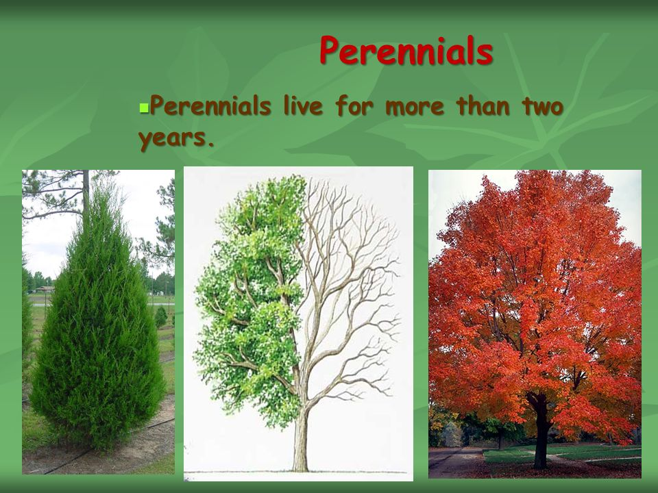 Perennials Perennials live for more than two years. Perennials live for more than two years.