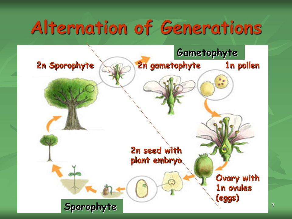 5 Alternation of Generations 2n Sporophyte 2n gametophyte 1n pollen Ovary with 1n ovules (eggs) 2n seed with plant embryo Sporophyte Gametophyte