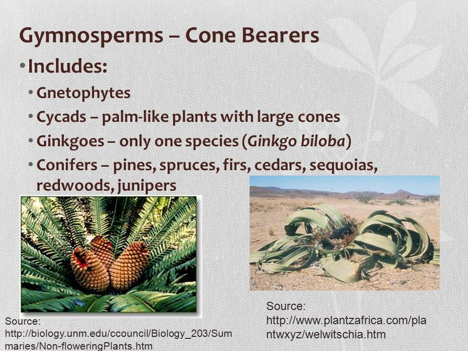 Gymnosperms – Cone Bearers Includes: Gnetophytes Cycads – palm-like plants with large cones Ginkgoes – only one species (Ginkgo biloba) Conifers – pines, spruces, firs, cedars, sequoias, redwoods, junipers Source:   ntwxyz/welwitschia.htm Source:   maries/Non-floweringPlants.htm