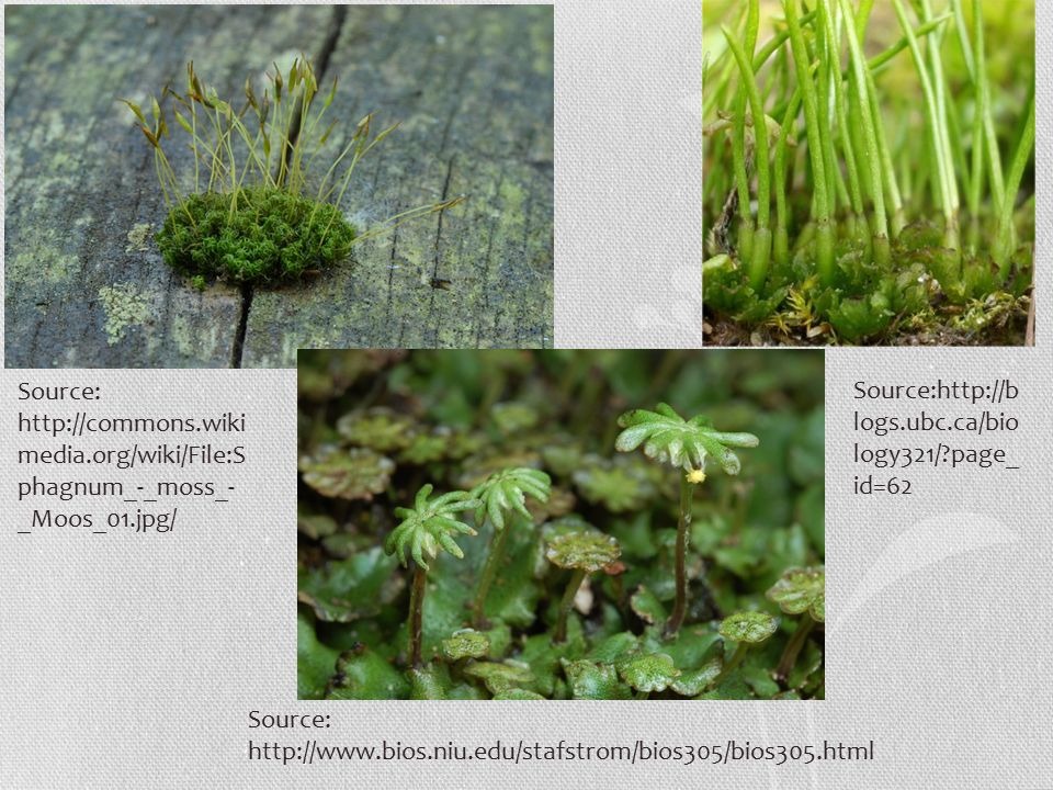 Source:   media.org/wiki/File:S phagnum_-_moss_- _Moos_01.jpg/ Source:   Source:  logs.ubc.ca/bio logy321/ page_ id=62