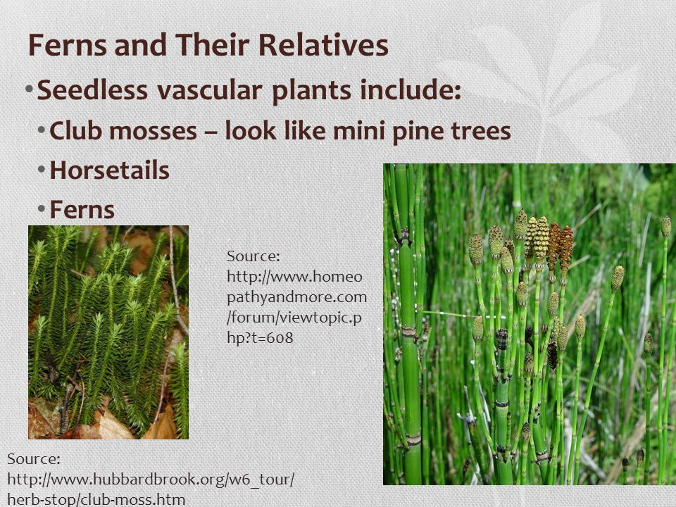 Ferns and Their Relatives Seedless vascular plants include: Club mosses – look like mini pine trees Horsetails Ferns Source:   herb-stop/club-moss.htm Source:   pathyandmore.com /forum/viewtopic.p hp t=608