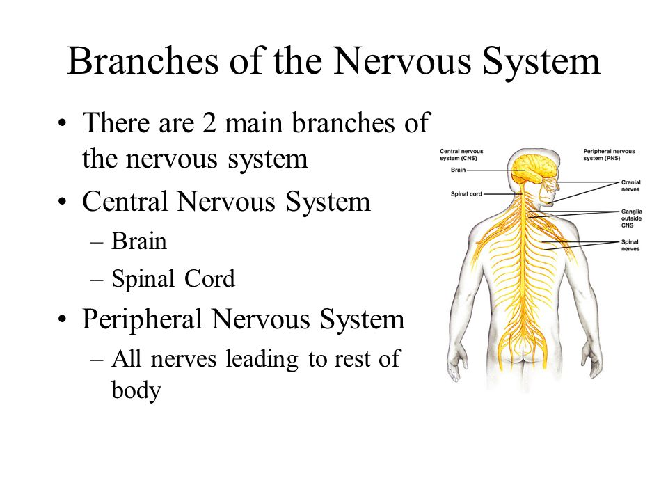 The Nervous System AP Biology Unit 6