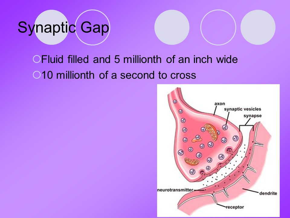 Synaptic Gap  Fluid filled and 5 millionth of an inch wide  10 millionth of a second to cross