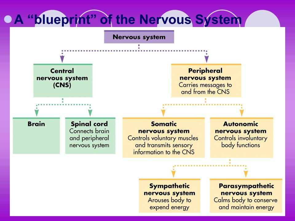 A blueprint of the Nervous System
