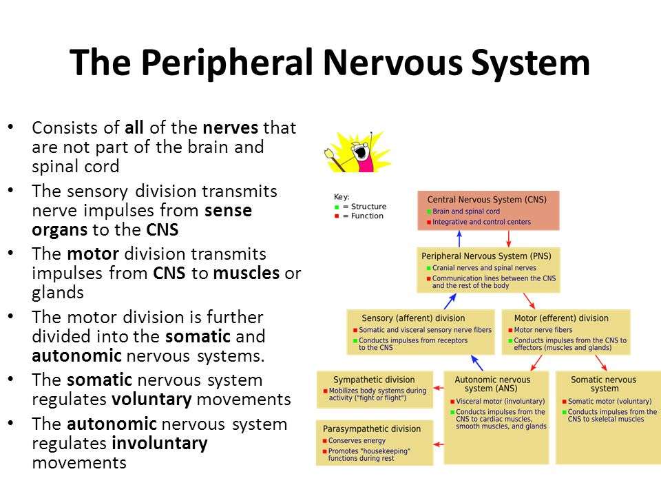 The Peripheral Nervous System Consists of all of the nerves that are not part of the brain and spinal cord The sensory division transmits nerve impulses from sense organs to the CNS The motor division transmits impulses from CNS to muscles or glands The motor division is further divided into the somatic and autonomic nervous systems.