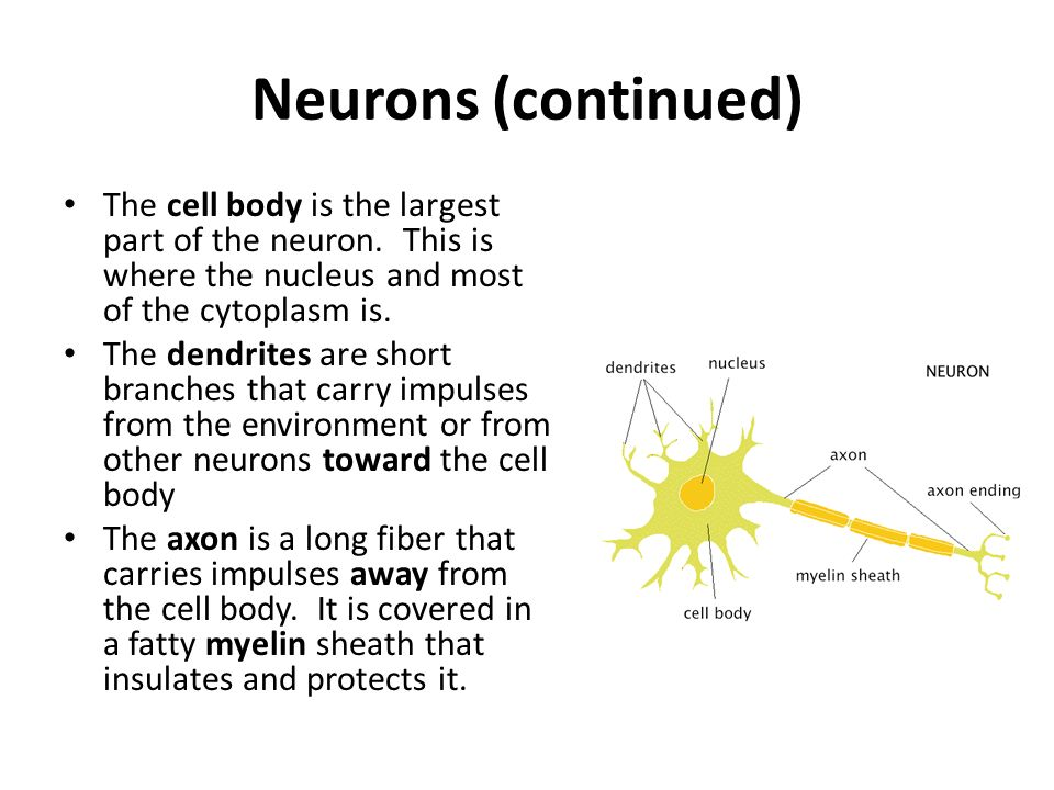 Neurons (continued) The cell body is the largest part of the neuron.
