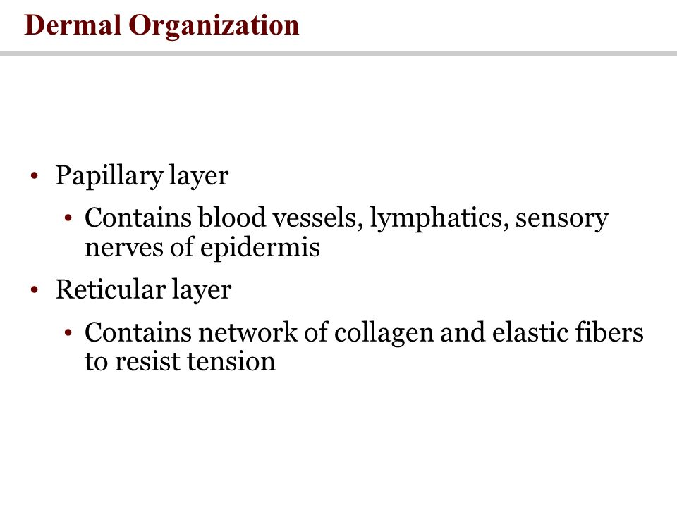 Papillary layer Contains blood vessels, lymphatics, sensory nerves of epidermis Reticular layer Contains network of collagen and elastic fibers to resist tension Dermal Organization