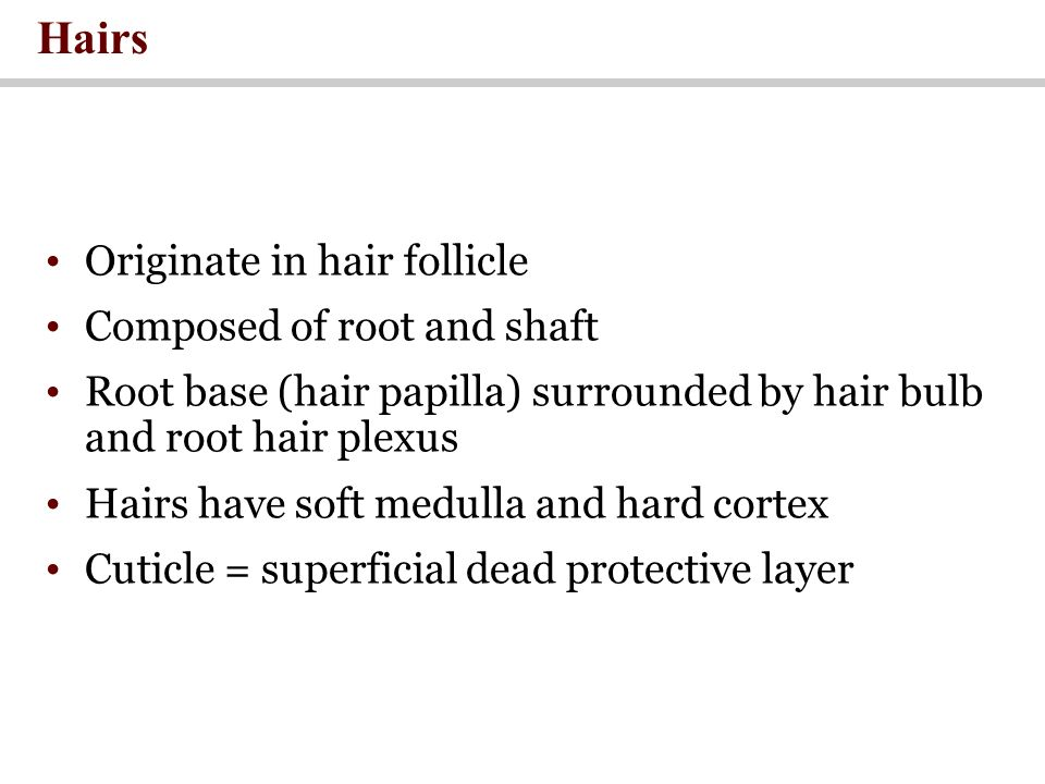 Originate in hair follicle Composed of root and shaft Root base (hair papilla) surrounded by hair bulb and root hair plexus Hairs have soft medulla and hard cortex Cuticle = superficial dead protective layer Hairs