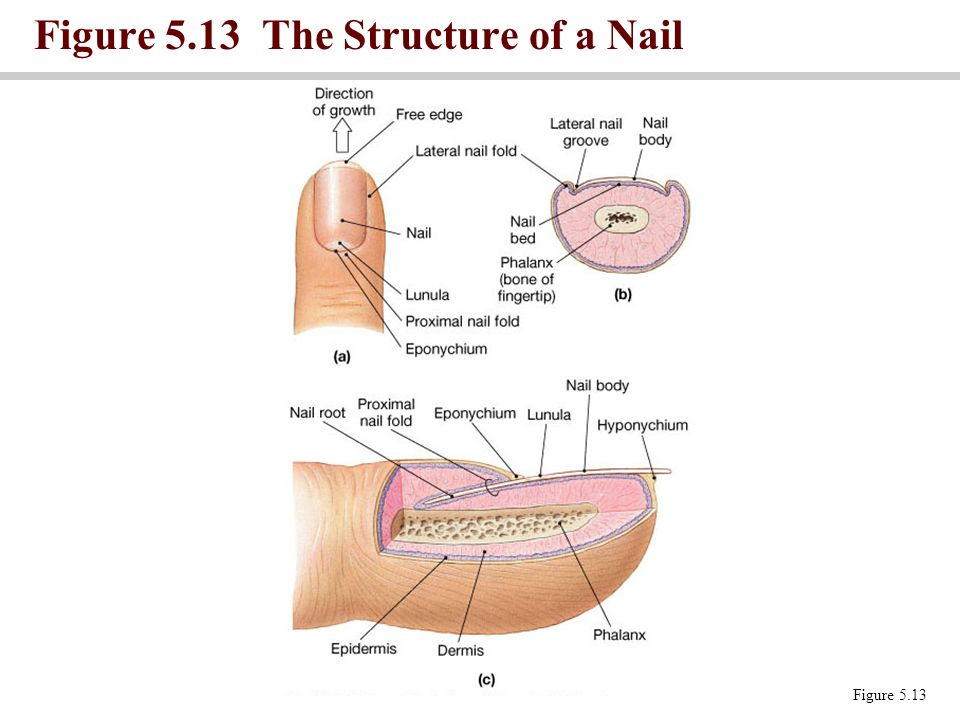 Figure 5.13 The Structure of a Nail Figure 5.13