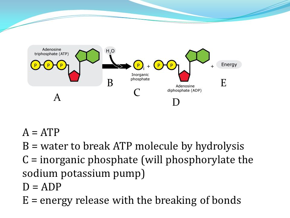 A B C D E A = ATP B = water to break ATP molecule by hydrolysis C = inorganic phosphate (will phosphorylate the sodium potassium pump) D = ADP E = energy release with the breaking of bonds