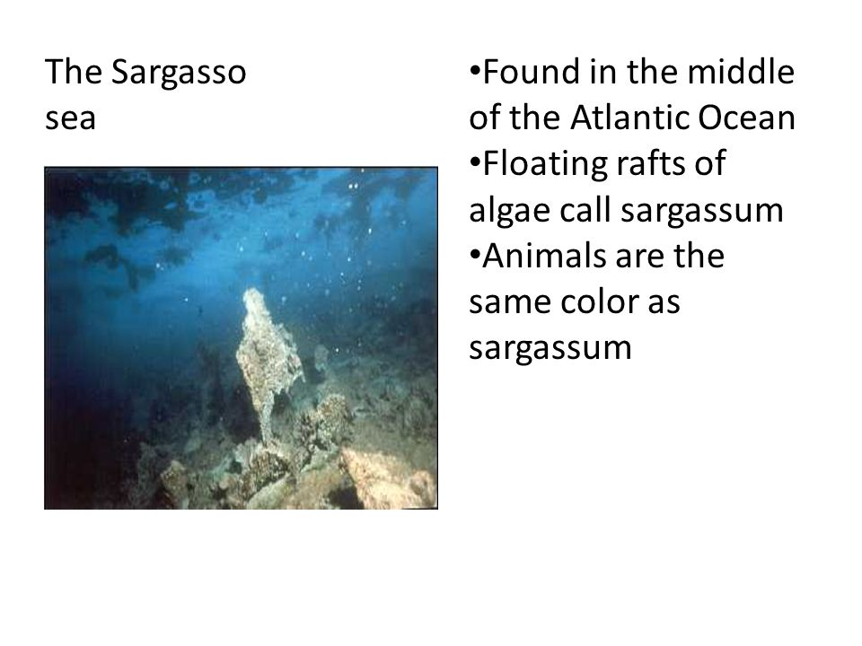 The Sargasso sea Found in the middle of the Atlantic Ocean Floating rafts of algae call sargassum Animals are the same color as sargassum