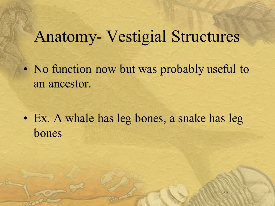 27 Anatomy- Vestigial Structures No function now but was probably useful to an ancestor.