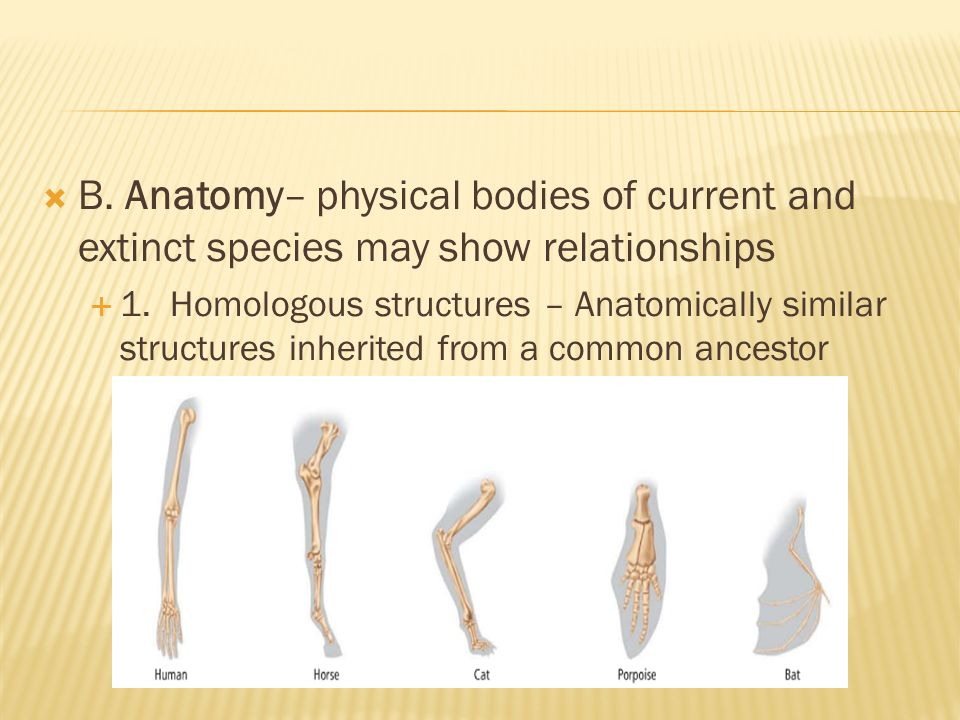  B. Anatomy– physical bodies of current and extinct species may show relationships  1.