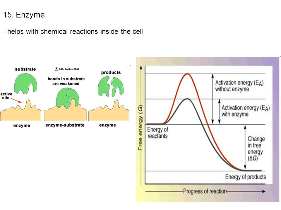 Ch. 8 Cells & Their Environment - ppt video online download