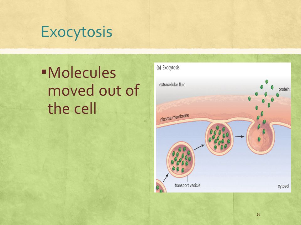 Exocytosis ▪ Molecules moved out of the cell 26