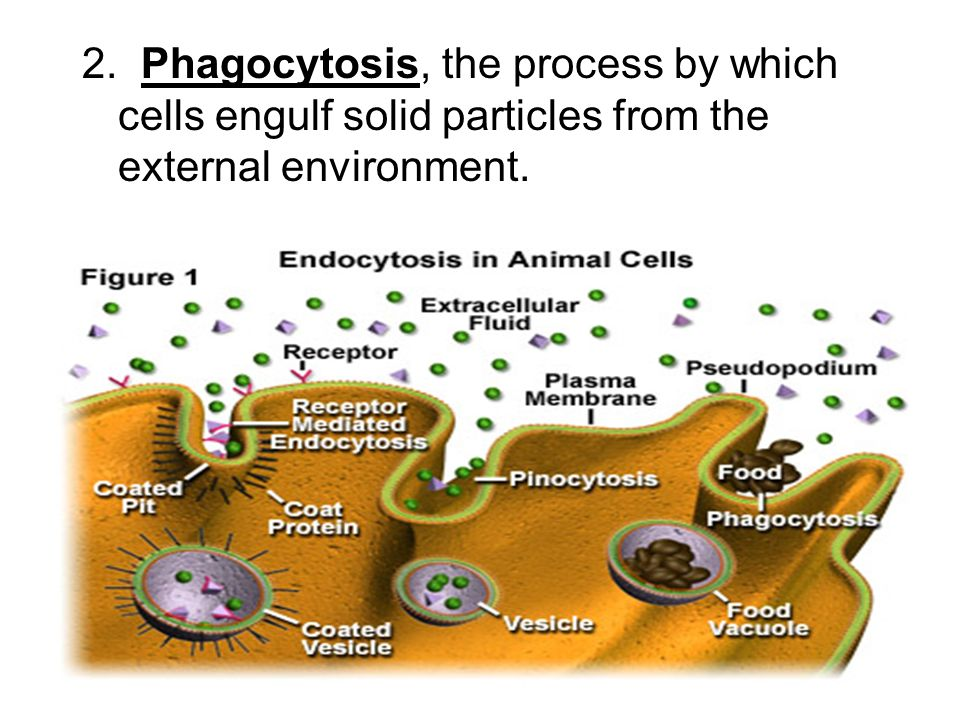 2. Phagocytosis, the process by which cells engulf solid particles from the external environment.