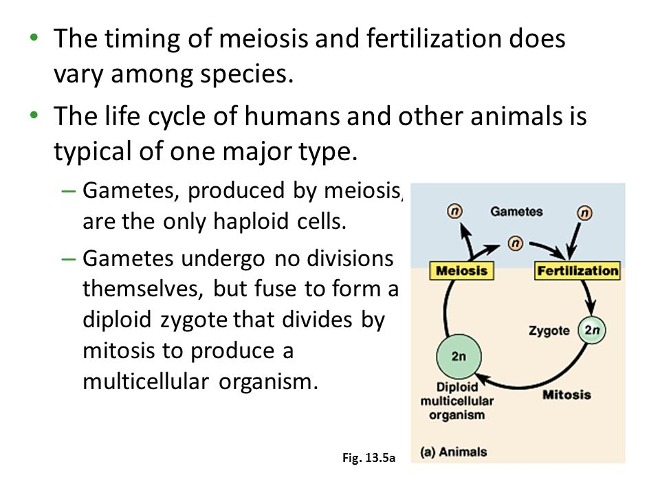 CHAPTER 13 MEIOSIS AND SEXUAL LIFE CYCLES Section A: An ...