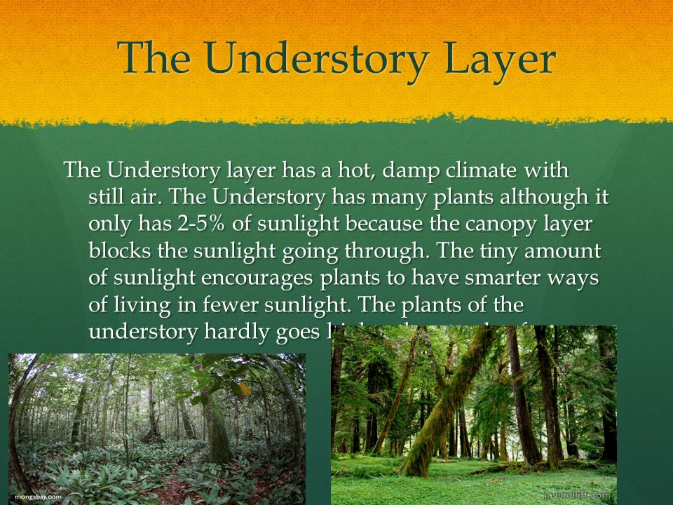 Rainforest Understory Layer By Felicity Clemente Task 1