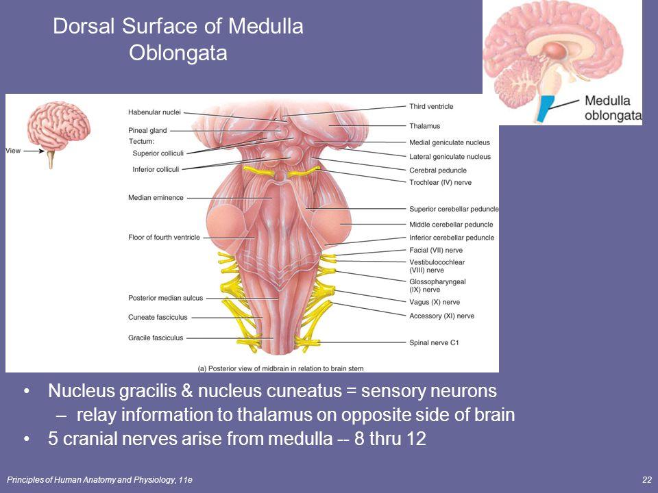 Anatomy of medulla oblongata