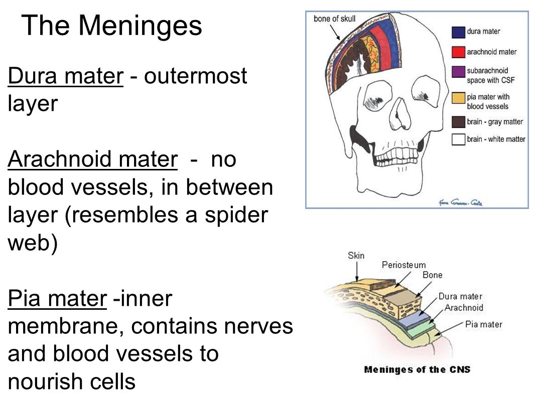 The Meninges Dura mater - outermost layer Arachnoid mater - no blood vessels, in between layer (resembles a spider web) Pia mater -inner membrane, contains nerves and blood vessels to nourish cells