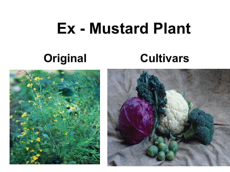 Ex - Mustard Plant OriginalCultivars