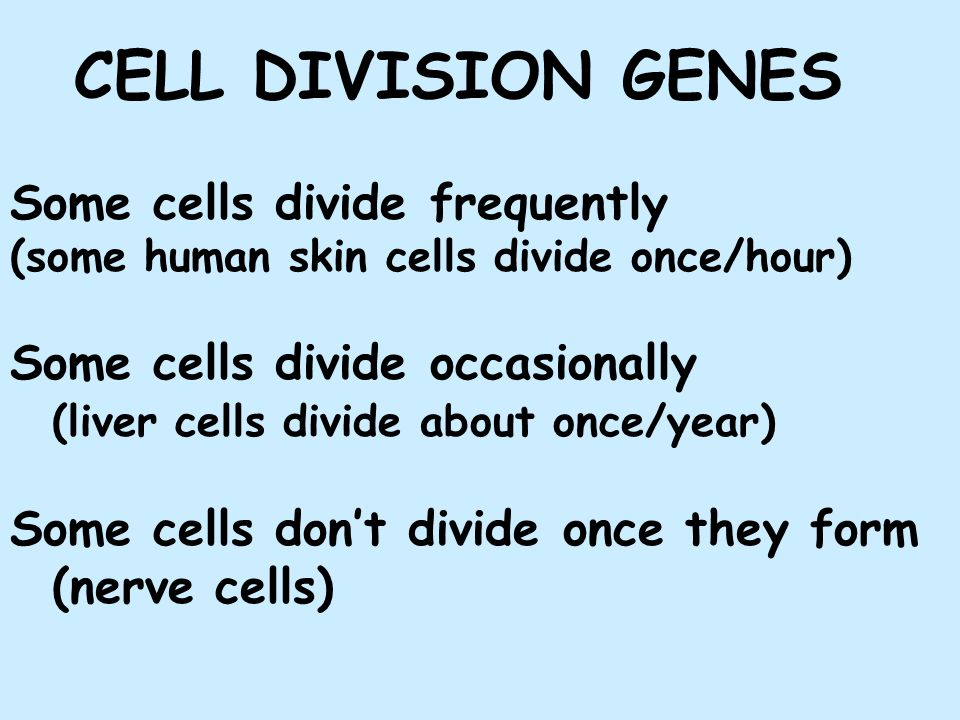CELL DIVISION GENES Some cells divide frequently (some human skin cells divide once/hour) Some cells divide occasionally (liver cells divide about once/year) Some cells don't divide once they form (nerve cells)