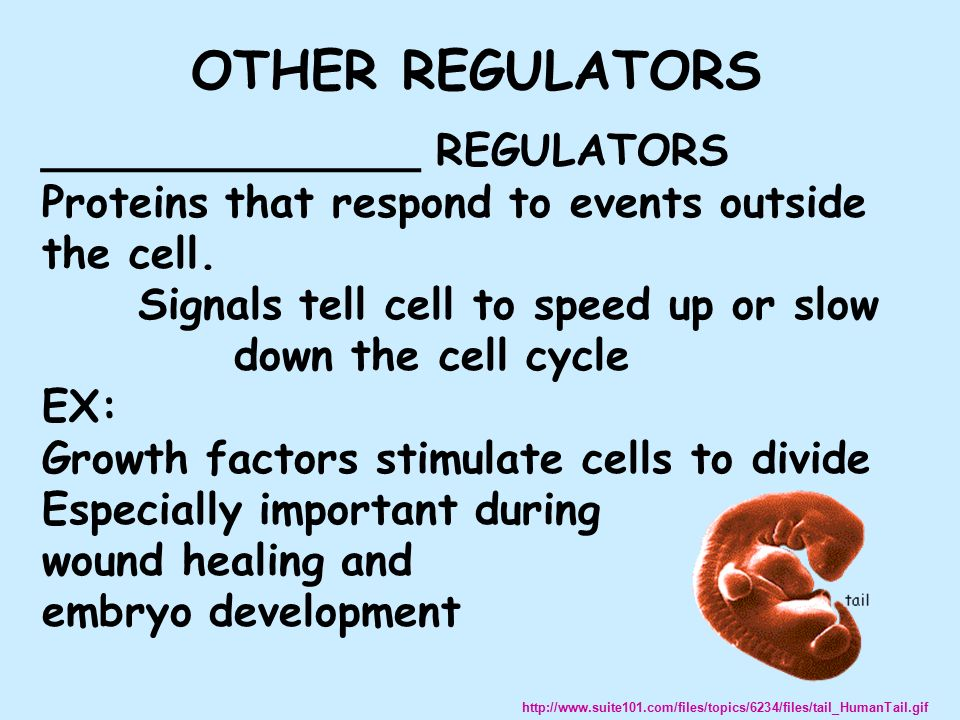______________ REGULATORS Proteins that respond to events outside the cell.