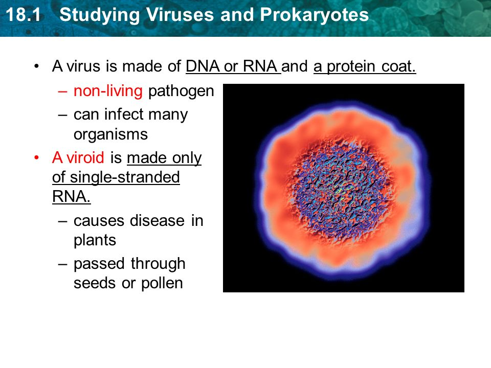 18.1 Studying Viruses and Prokaryotes A virus is made of DNA or RNA and a protein coat.