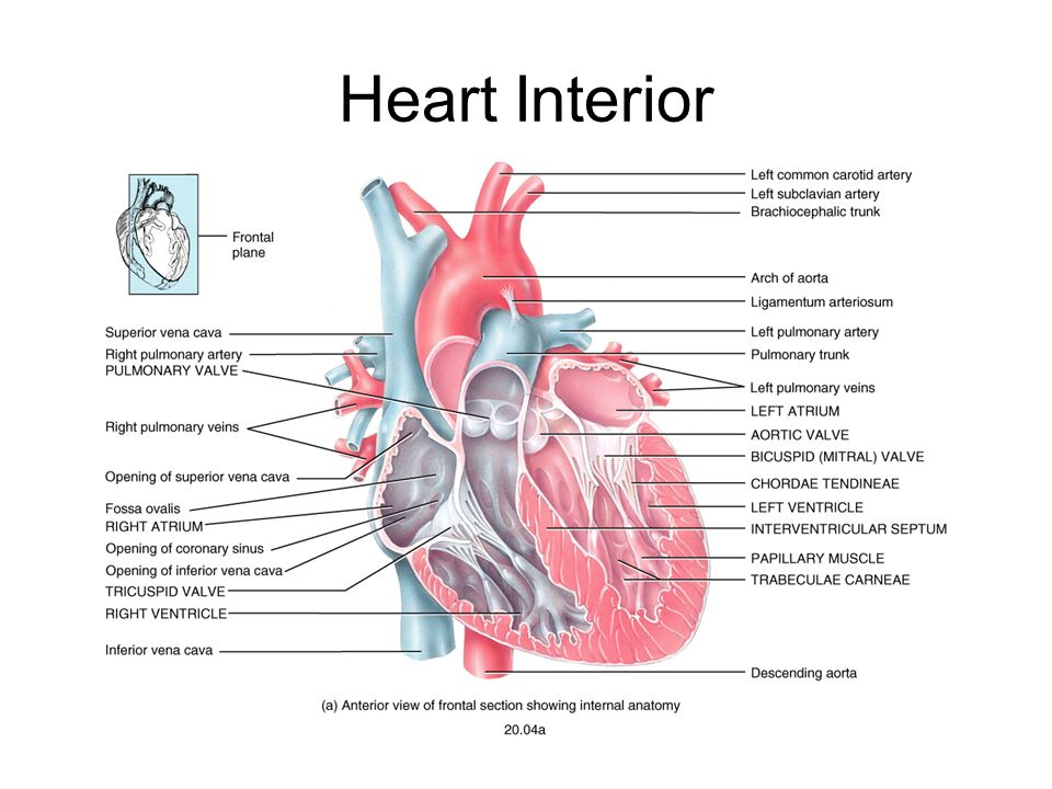 Chapter 20 the heart position of the heart mediastinum 6 heart interior ccuart Gallery