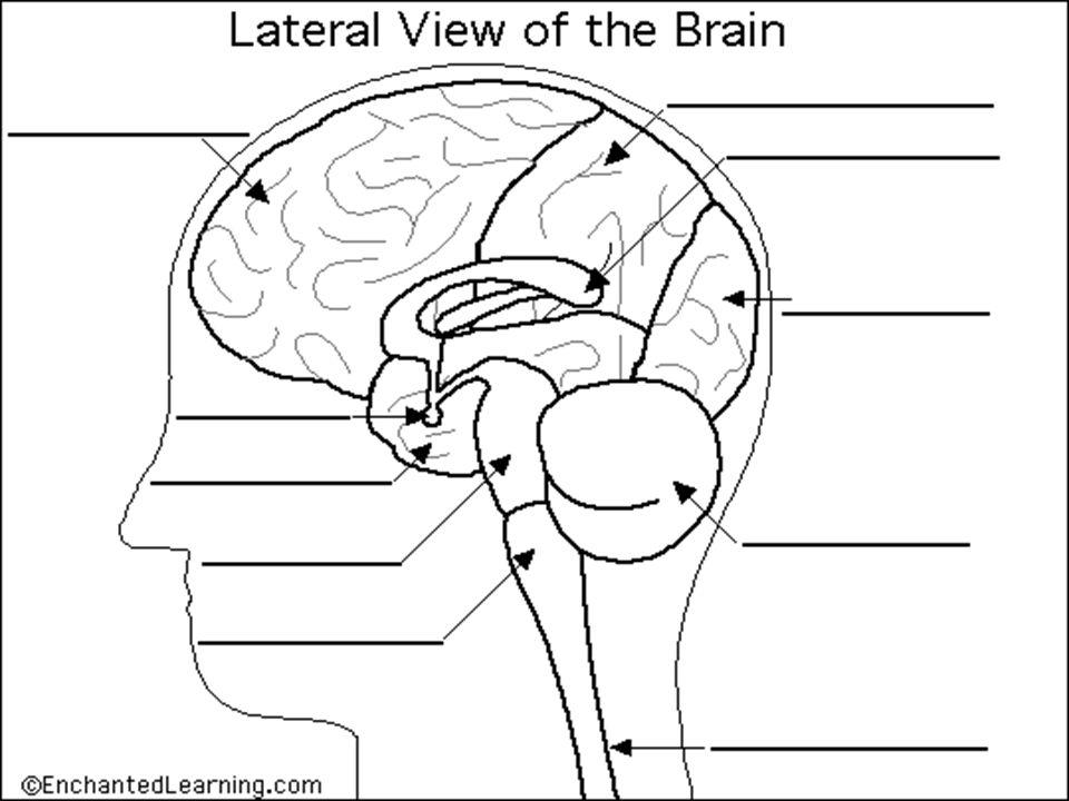 Amazing Brain Diagrams To Label Photos - Human Anatomy Images ...