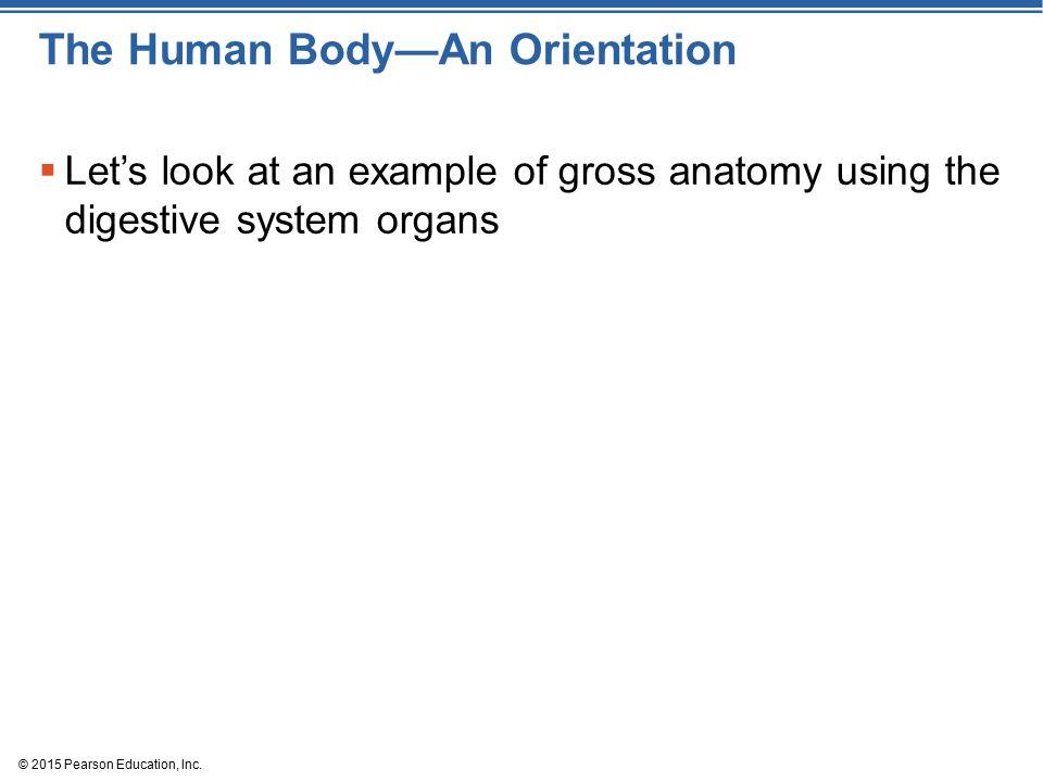 Único Example Of Gross Anatomy Foto - Anatomía de Las Imágenesdel ...