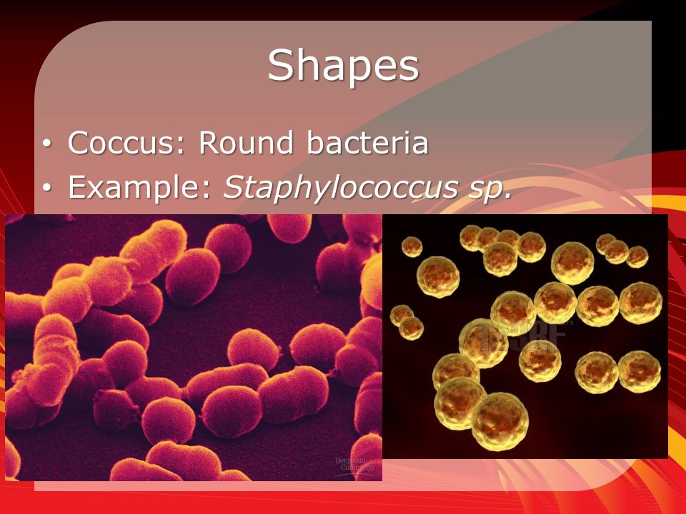 Shapes Coccus: Round bacteria Coccus: Round bacteria Example: Staphylococcus sp.