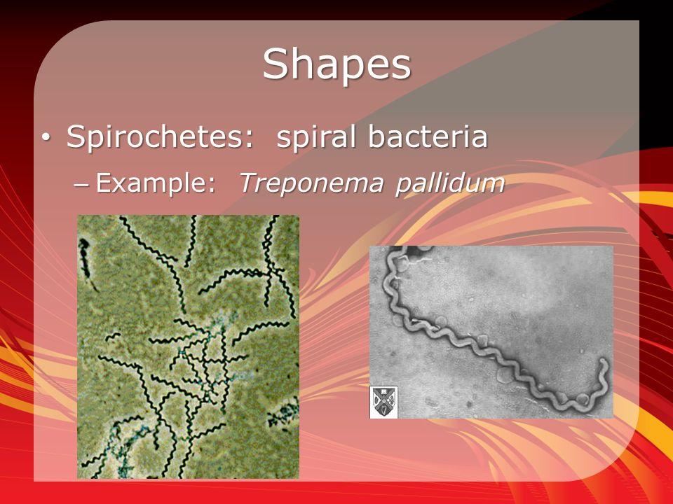 Shapes Spirochetes: spiral bacteria Spirochetes: spiral bacteria – Example: Treponema pallidum