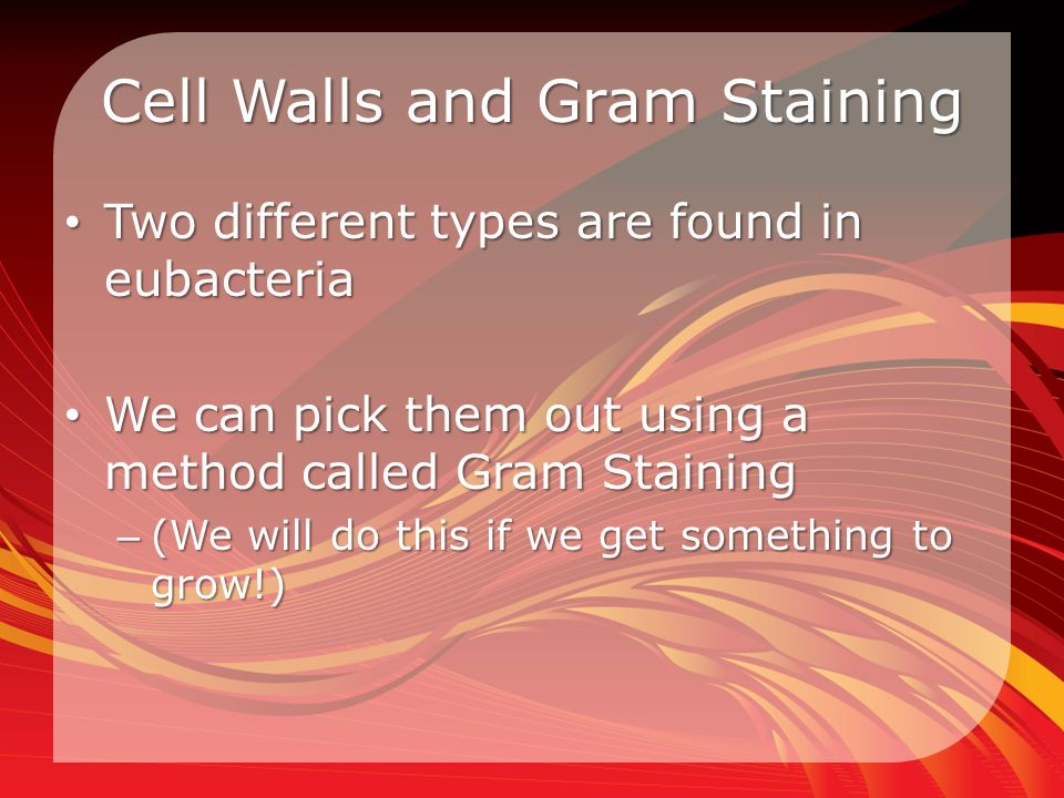 Cell Walls and Gram Staining Two different types are found in eubacteria Two different types are found in eubacteria We can pick them out using a method called Gram Staining We can pick them out using a method called Gram Staining – (We will do this if we get something to grow!)