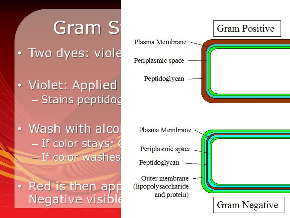 Gram Staining Steps Two dyes: violet and red (counterstain) Two dyes: violet and red (counterstain) Violet: Applied first Violet: Applied first – Stains peptidoglycan in the cell wall Wash with alcohol Wash with alcohol – If color stays: Gram Positive – If color washes away: Gram Negative Red is then applied to make Gram Negative visible with pink color Red is then applied to make Gram Negative visible with pink color