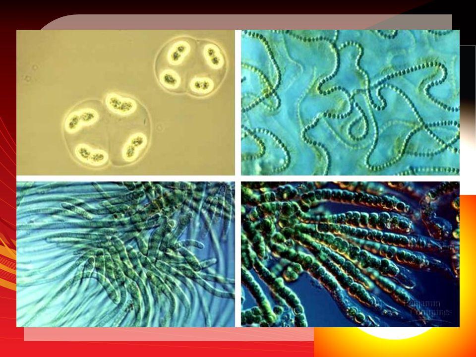 Bacterial Autotrophs Photoautotrophs: Carryout photosyntehsis Photoautotrophs: Carryout photosyntehsis – Require light source – Ex: Cyanobacteria: chlorophyll a Chemoautotrophs: Carryout Chemosynthesis Chemoautotrophs: Carryout Chemosynthesis – Do not require light