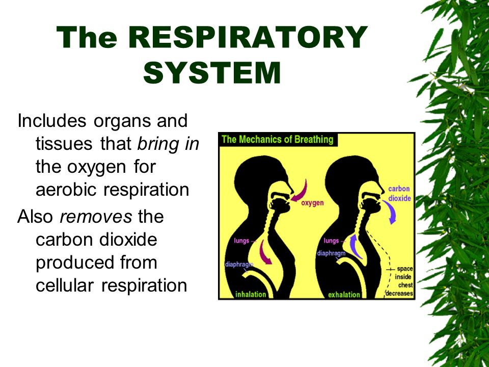 The RESPIRATORY SYSTEM Includes organs and tissues that bring in the oxygen for aerobic respiration Also removes the carbon dioxide produced from cellular respiration