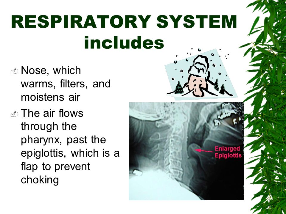 RESPIRATORY SYSTEM includes  Nose, which warms, filters, and moistens air  The air flows through the pharynx, past the epiglottis, which is a flap to prevent choking