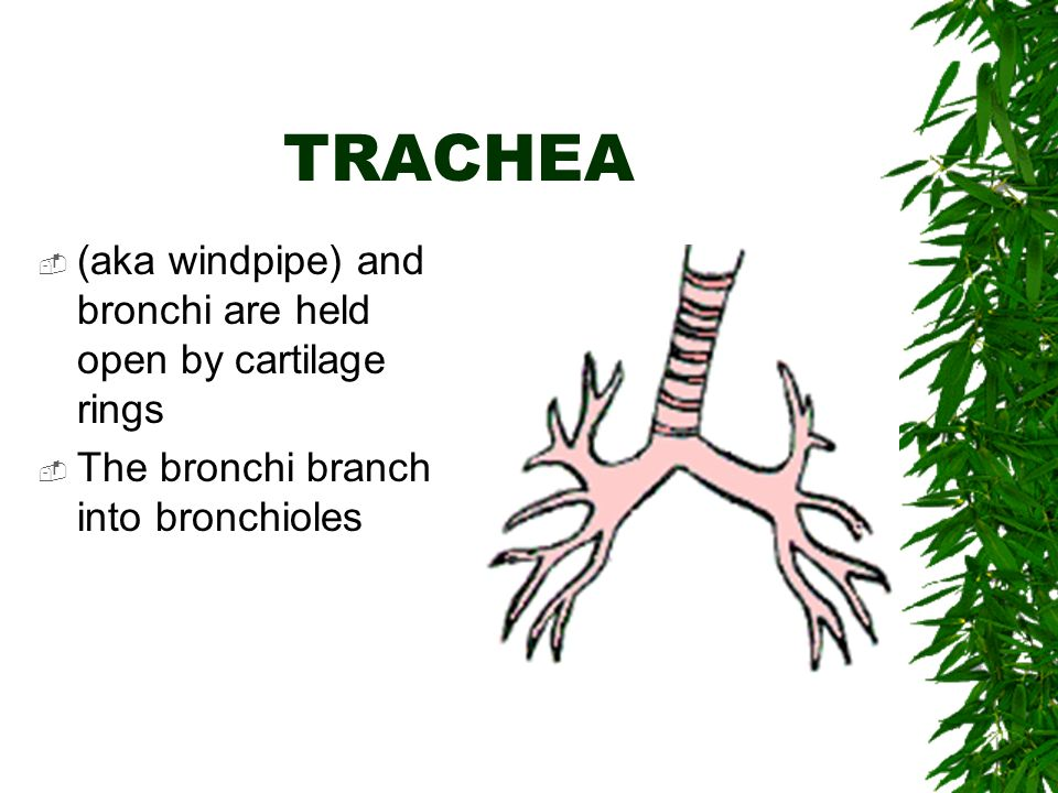 TRACHEA  (aka windpipe) and bronchi are held open by cartilage rings  The bronchi branch into bronchioles