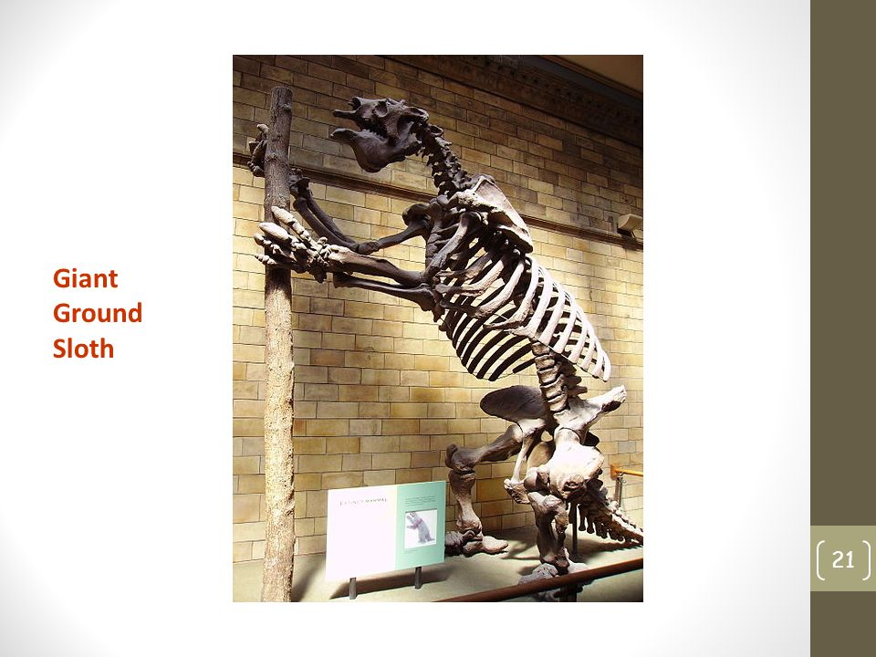 21 Giant Ground Sloth