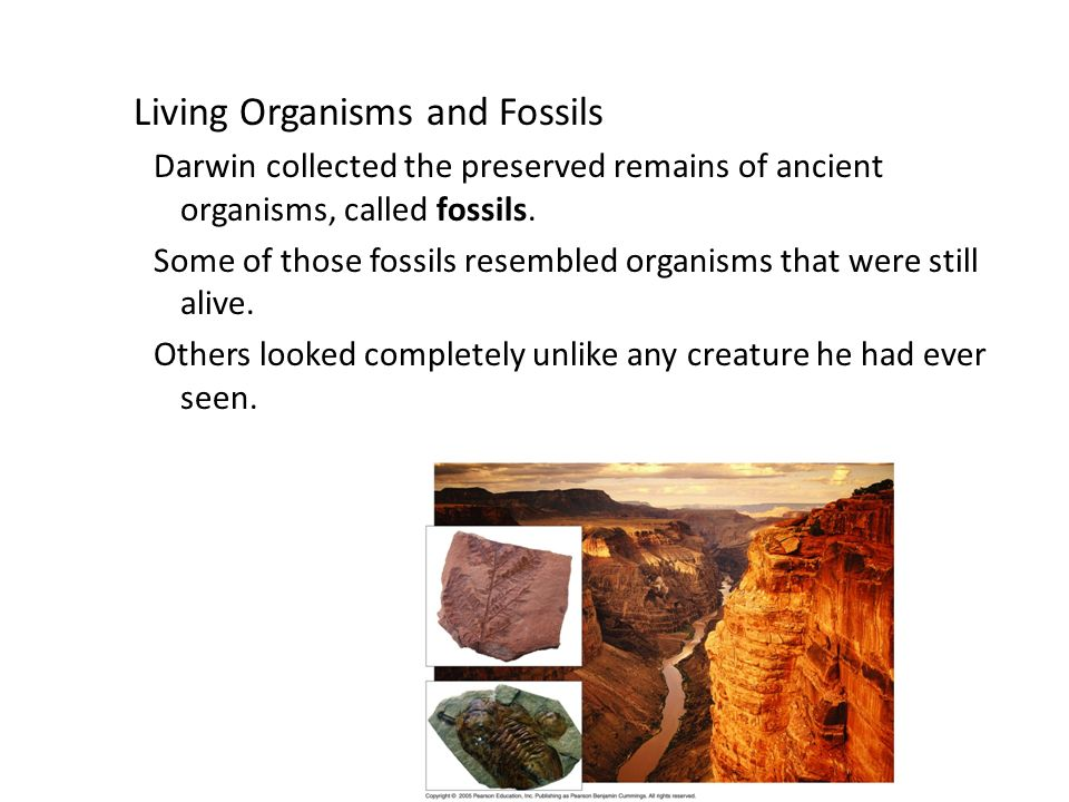Copyright Pearson Prentice Hall Living Organisms and Fossils Darwin collected the preserved remains of ancient organisms, called fossils.