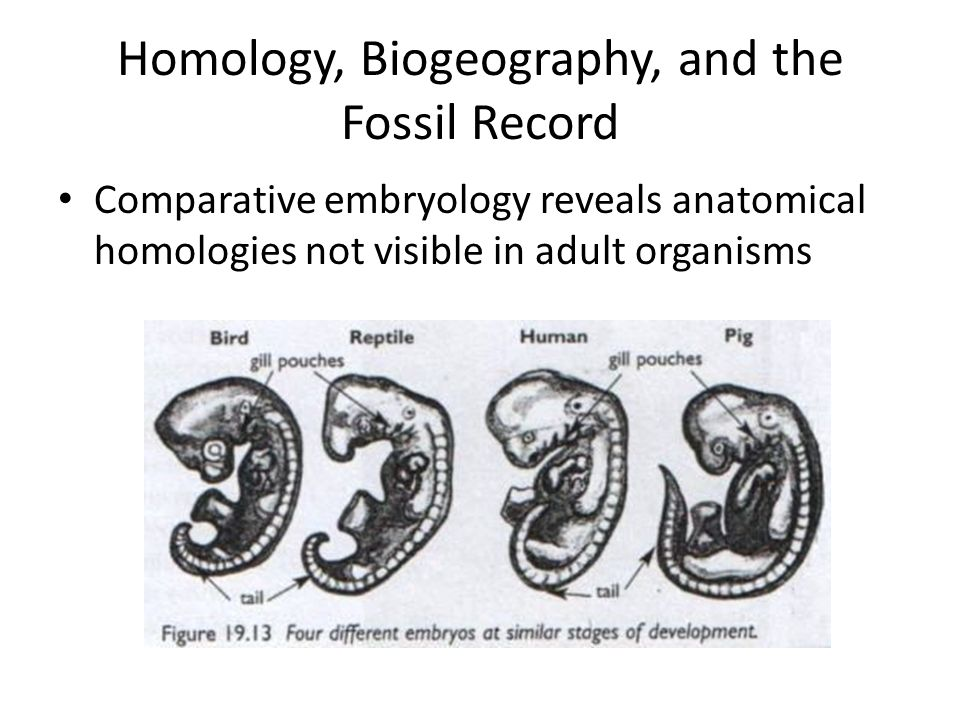 Homology, Biogeography, and the Fossil Record Comparative embryology reveals anatomical homologies not visible in adult organisms