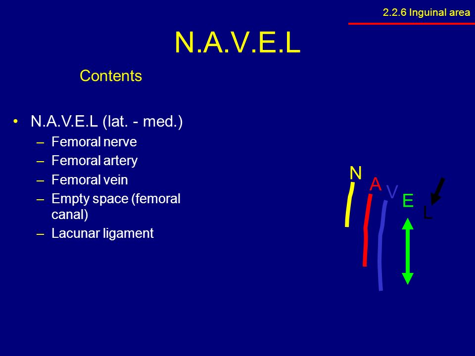 femoral nerve navel – lickclick, Muscles
