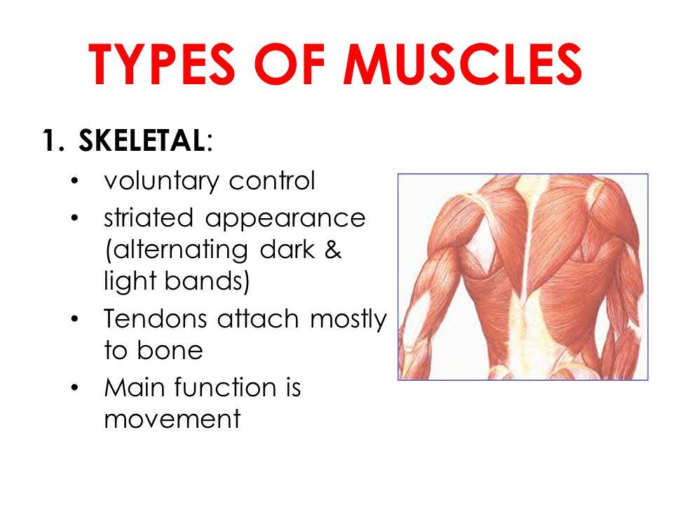 Muscular System Anatomical Terminology Assume The Anatomical