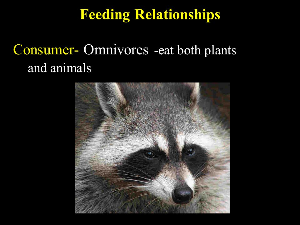 Feeding Relationships Consumer- Omnivores -eat both plants and animals